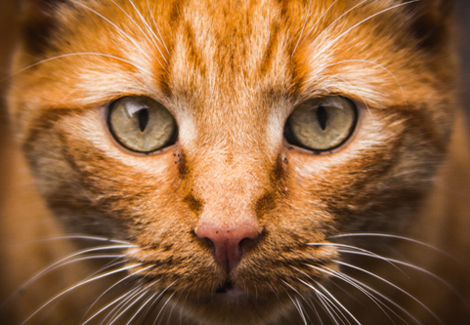 Face-only photo of an orange tabby cat for information on nationwide cat transportation from Pet Van Lines.