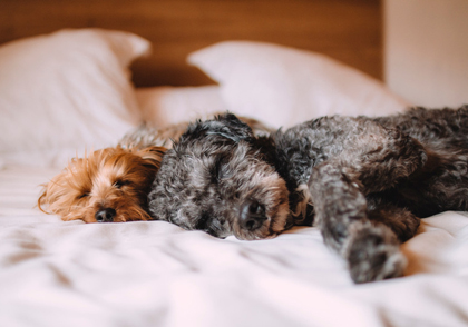 A small gray and a small brown territor lying on a bed; for information on dog ground transportation from Pet Van Lines.