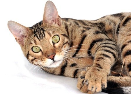 Domestic Bengal cat lying down, perhaps waiting for its owner to decide about cat shipping.