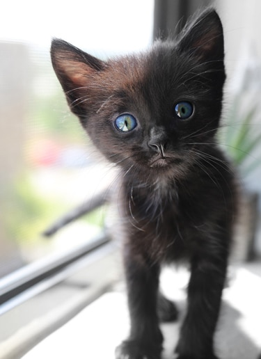 Black kitten for number two on a pet list and information about cat shipping.