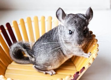 Gray chinchilla for a pet list; and get facts on pet transportatio services.