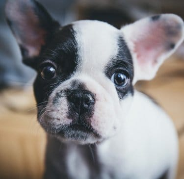 Black and white puppy for information about dogs on a pet list and dog shipping.