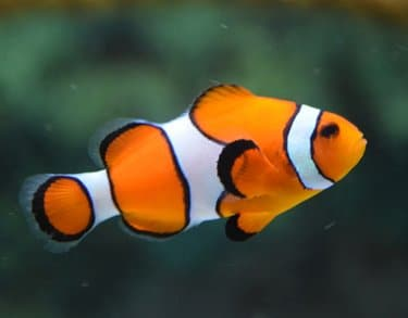 Clown fish as an option for your pet list; and get information on pet transporation services from Pet Van Lines.