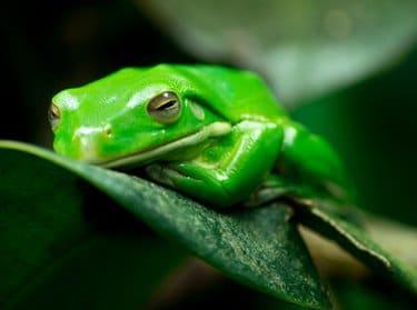 Green frog as a pet list option