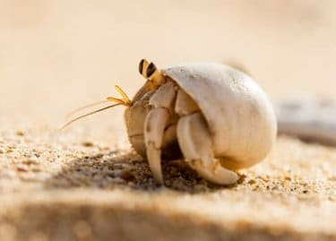 Hermit crab as a possible addition for your pet list