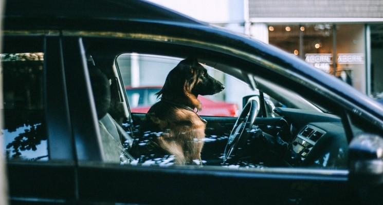pet in the car